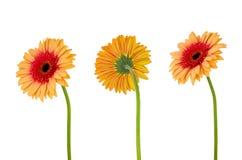 Gerbera da flor de três laranjas isolado no branco Imagens de Stock
