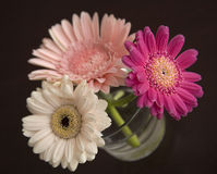 Gerbera daisies Royalty Free Stock Photo