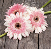 Gerbera Daisies. Three cute white and Pink Gerbera Daisies arranged on vintage wood planks stock photo