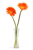 Gerbera Daisies Stock Photography