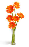 Gerbera Daisies. In vase on white background Royalty Free Stock Image