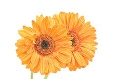 Gerbera daisies Stock Photo