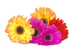 Gerbera daisies Royalty Free Stock Images