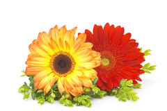 Free Gerbera Daisies Stock Photo - 24626070