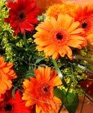 Gerbera daisies. Mix of orange and red gerbera daisies stock image