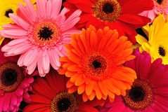 Gerbera Daisies Stock Photos