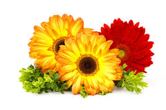 Free Gerbera Daisies Stock Photo - 28706280