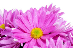 Free Gerbera Daisies Stock Photo - 37787850