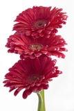 Gerbera daisies Stock Photography