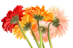 Gerbera daisies. Bouquet from five gerbera daisies Royalty Free Stock Photography