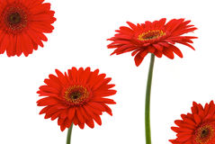 Free Gerbera Daisies Royalty Free Stock Photos - 7614978