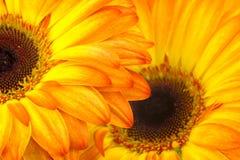 Gerbera daisies Stock Images