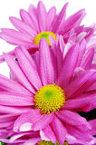 Gerbera daisies. Closeup of some pink gerbera daisies on a white background Royalty Free Stock Images