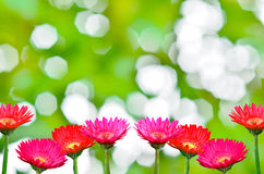 Gerbera daisies i Stock Image