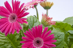 Gerbera Daisies with New Growth in Background. Stock Images