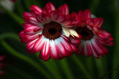 Gerbera daisies. Portrait of a gerbera flowers. Macro photography of nature Stock Photo