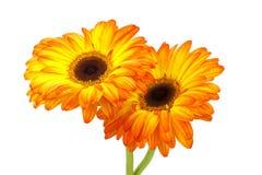 Gerbera daisies Stock Photos