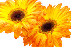 Gerbera daisies Royalty Free Stock Image