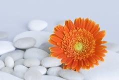 Gerbera daisy Stock Images