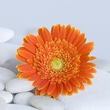Gerbera daisy Royalty Free Stock Images