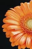 Gerbera daisy. Orange gerbera daisy in black background Stock Photos
