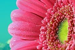 Gerbera daisy Stock Image