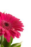 Gerbera daisy. With drop of water on white, close-up Royalty Free Stock Photo