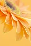 Gerbera daisy Royalty Free Stock Photos