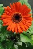 Gerbera daisy. Closeup of an orange gerbera daisy royalty free stock image