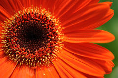 Gerbera daisy. Closeup of an orange gerbera daisy stock photos