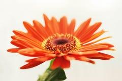 Gerbera daisy Royalty Free Stock Image