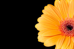 A gerbera daisy. With a black background Stock Photos