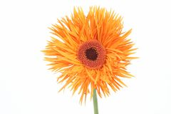 Gerbera daisy. One orange gerbera daisy on a white background Stock Photography