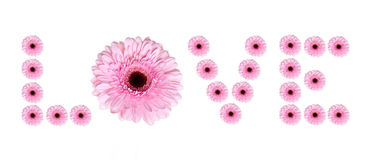 Gerbera daisy. Flower text on white background Stock Photography
