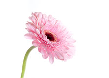 Gerbera daisy. Beauty pink flower gerbera daisy Royalty Free Stock Photos