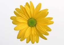 Gerbera Daisy-3 Stock Images