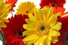 Gerbera daisy. Summer flowers, the gerbera daisy stock images