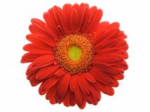 Gerbera Daisy. Red gerbera daisy isolated on a white background Royalty Free Stock Photos