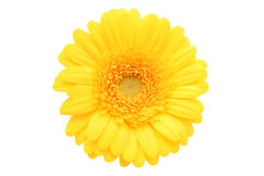 Gerbera Daisy. On white Royalty Free Stock Image
