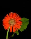 Gerbera Daisy. Orange Gerbera daisy with one leaf on black background Stock Photo