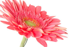 Gerbera daisy. Pink gerbera daisy flower isolated over white background royalty free stock photo