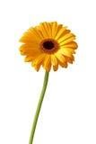 Gerbera daisy Stock Photos