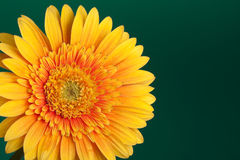 Gerbera Daisy Royalty Free Stock Photography