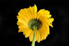 Gerbera daisy against black. Back view of a yellow gerbera daisy isolated against black Stock Image