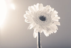 Gerbera daisy, against the light,  monochrome converted Royalty Free Stock Photo
