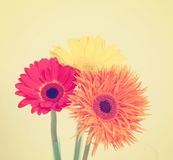 Gerbera daisy on beige background toned with a retro vintage i Stock Photos