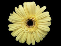 Gerbera Daisy on Black. A yellow gerbera daisy on a black background Stock Photos