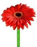 Gerbera, Daisy bloem stock afbeelding