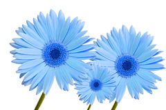 Gerbera daisy blue three Stock Photos