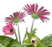 Gerbera Daisy Buds and Open Flowers Royalty Free Stock Image